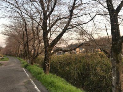 コーヒー店舗横の桜並木